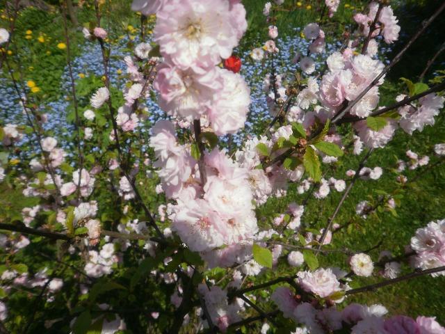 Almond bush