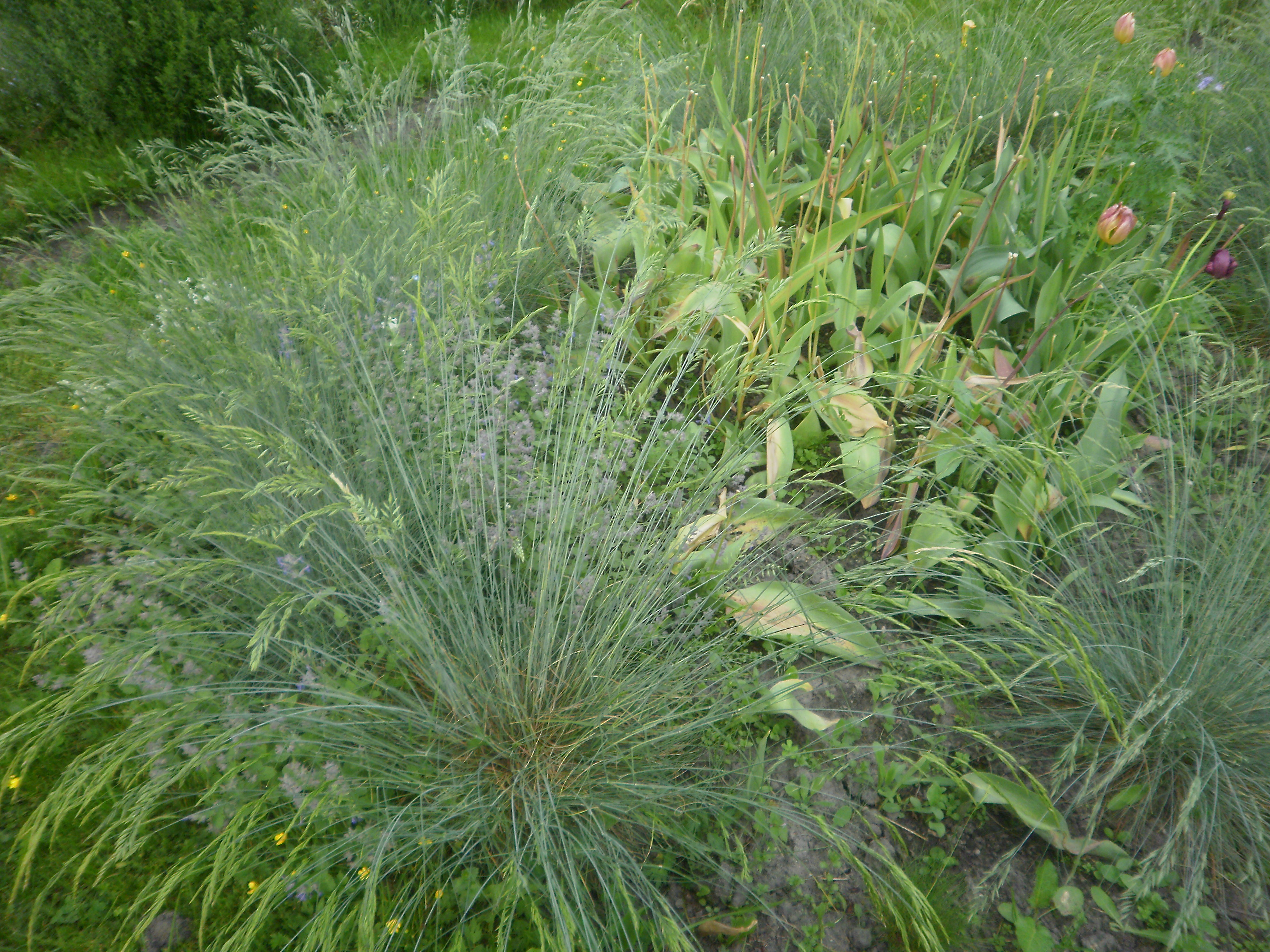 Ornamental grasses garden for Short ornamental grasses landscape