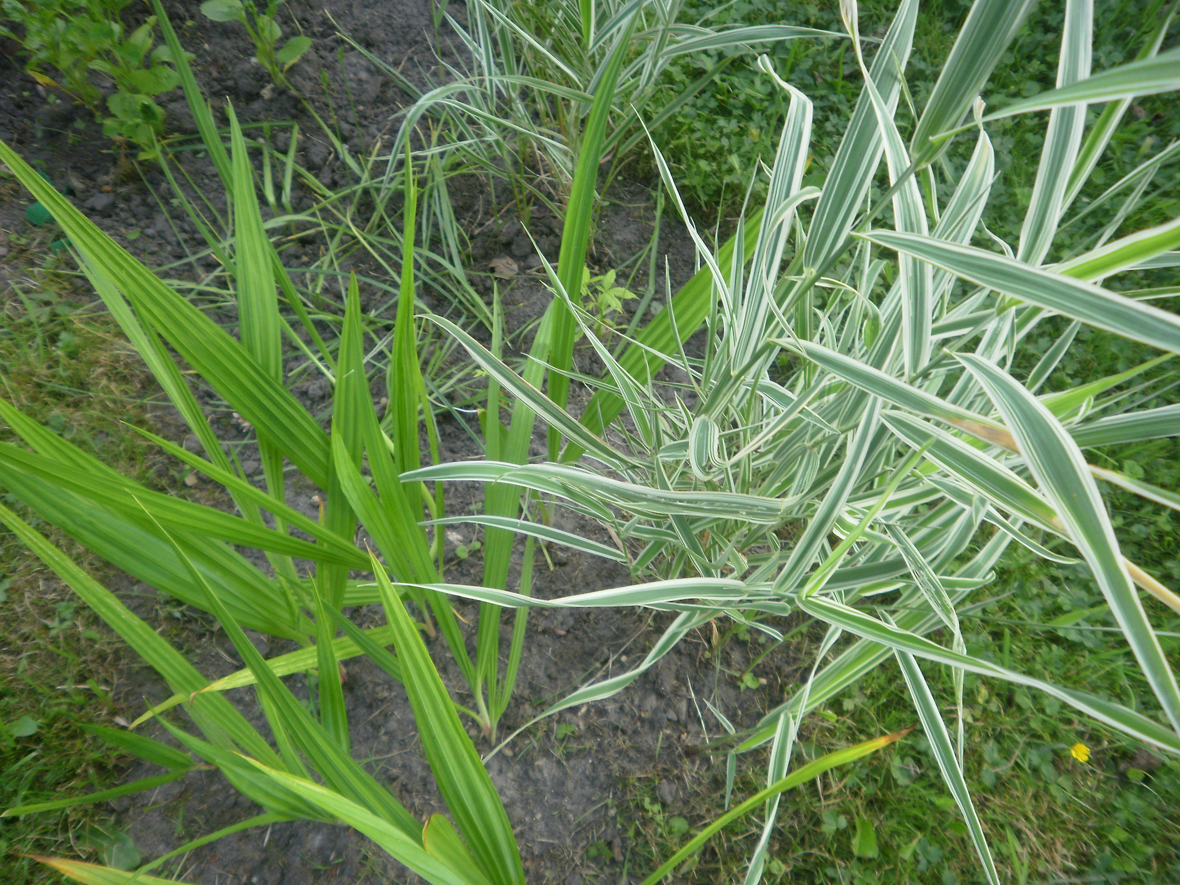 Ornamental grasses garden for Tall decorative grass