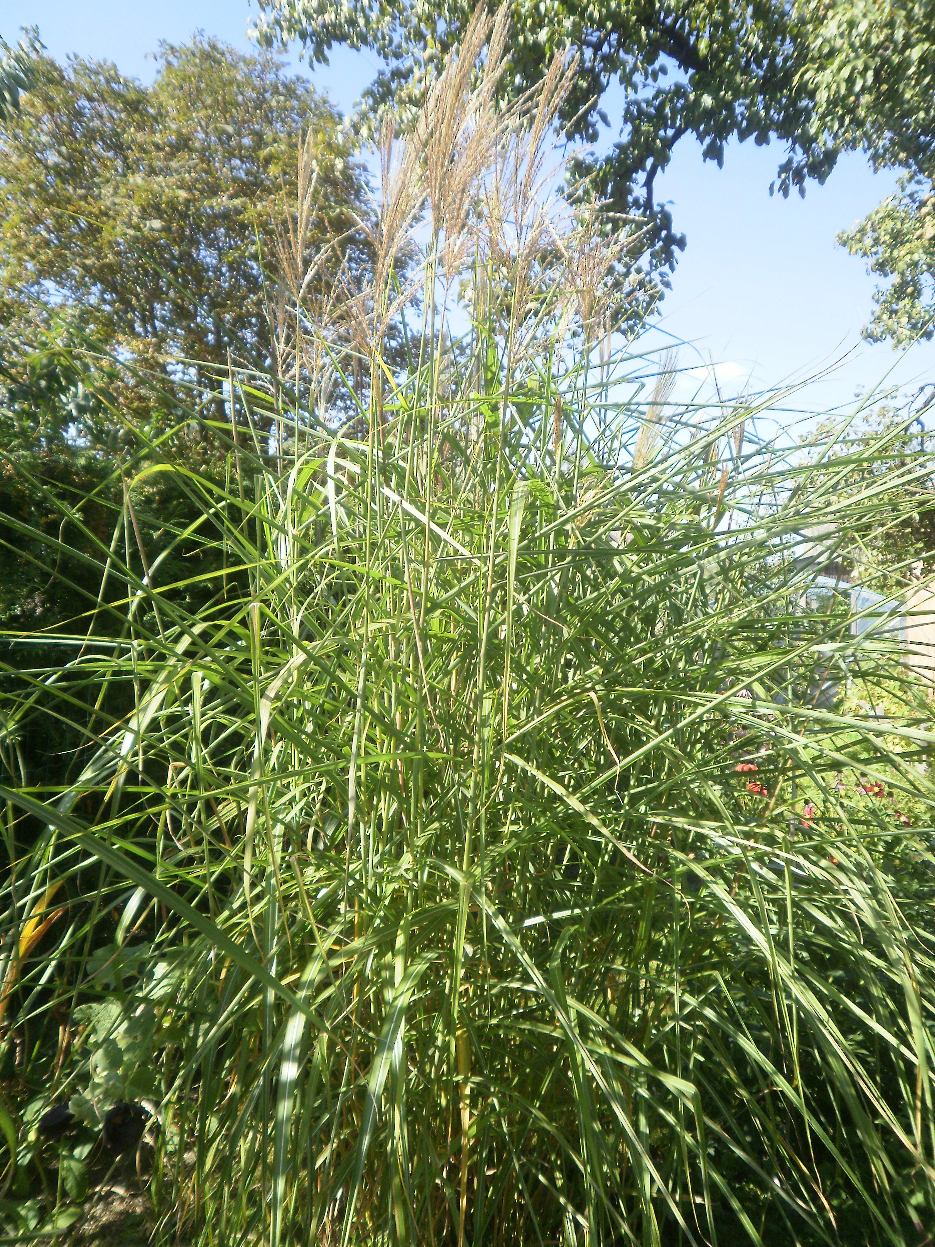 Ornamental grasses garden for Short grasses for landscaping