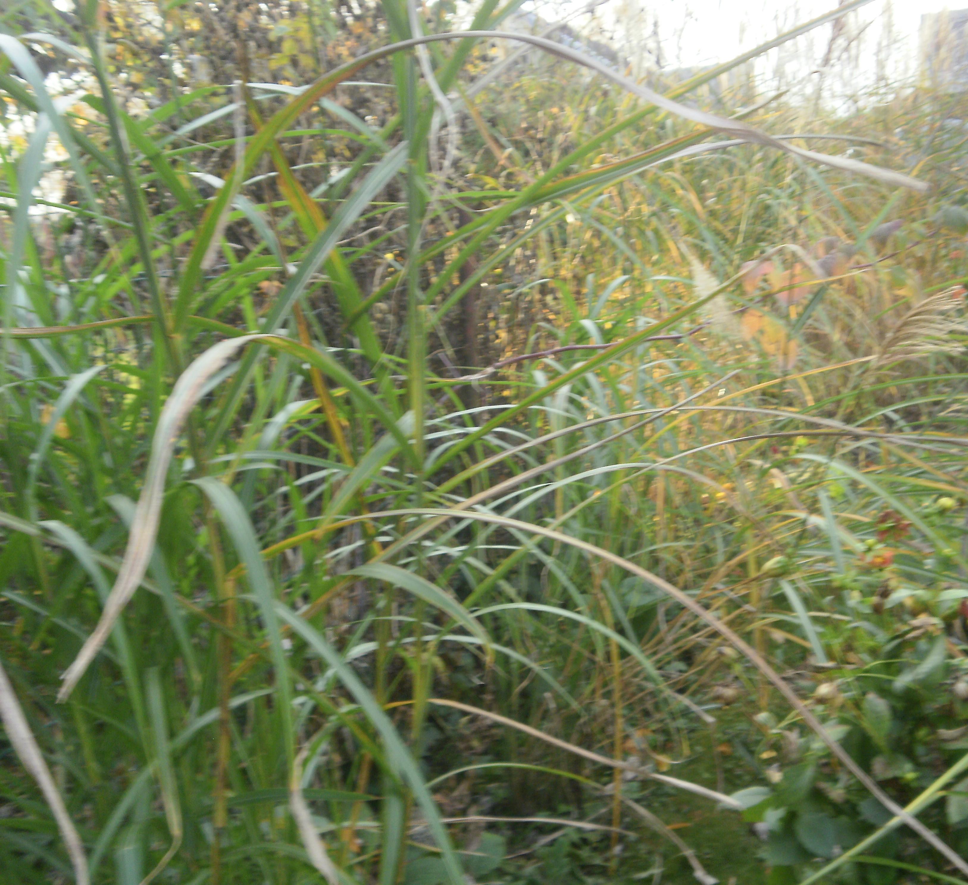 Ornamental grasses garden for Grasses used in landscaping